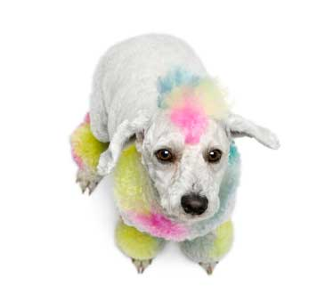 Coloured poodle